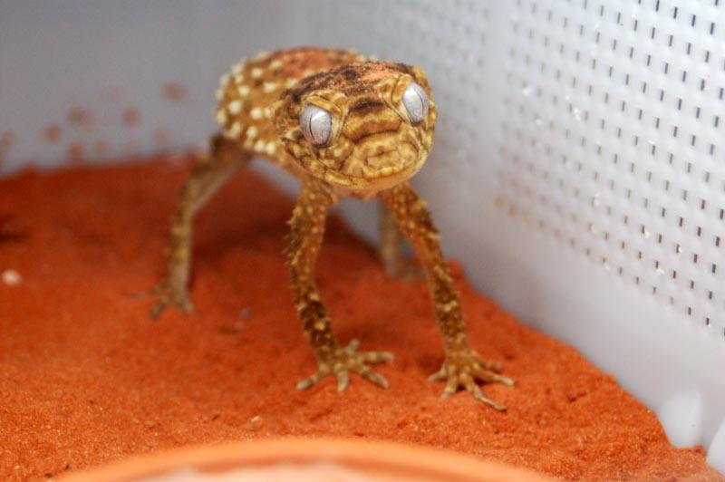 Rough Knob Tailed Geckos N Asper At Aar