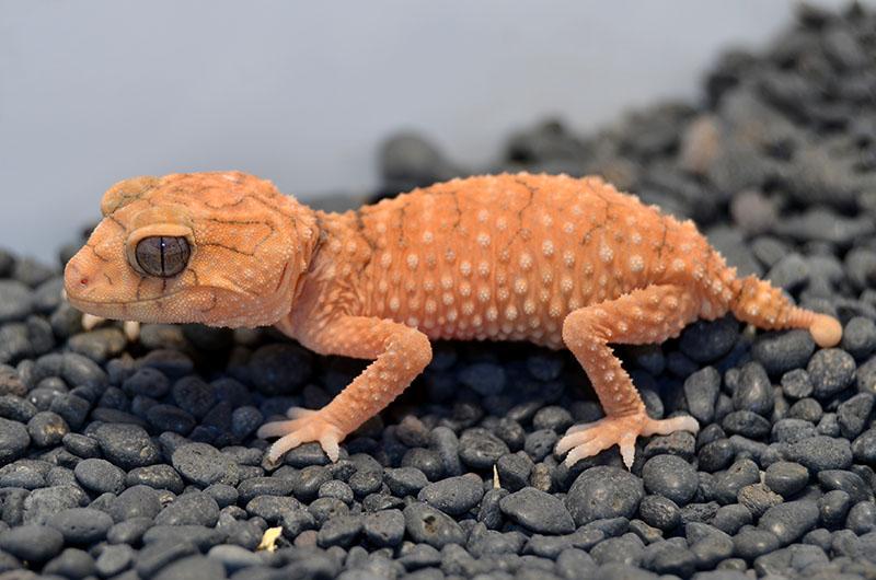Centralian knob-tail gecko (Nephrurus amyae)