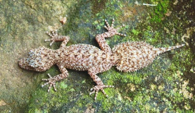 leaf-tailed                 gecko