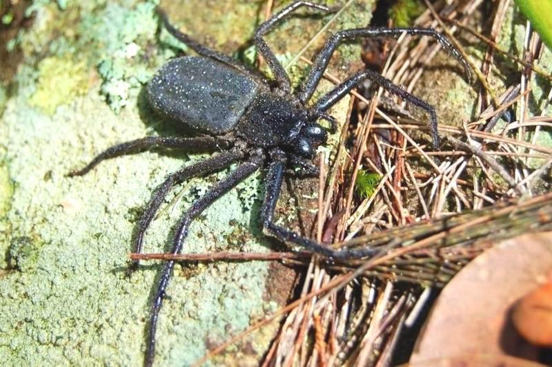 flat rock spider