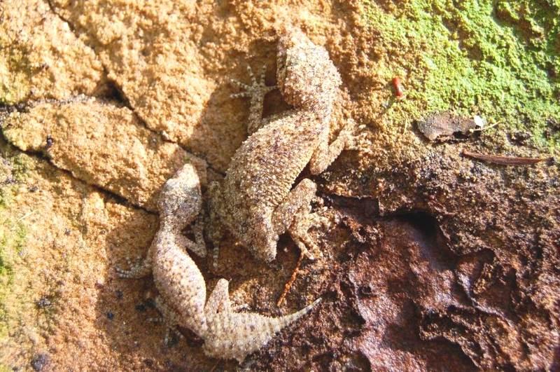 leaftailed geckos