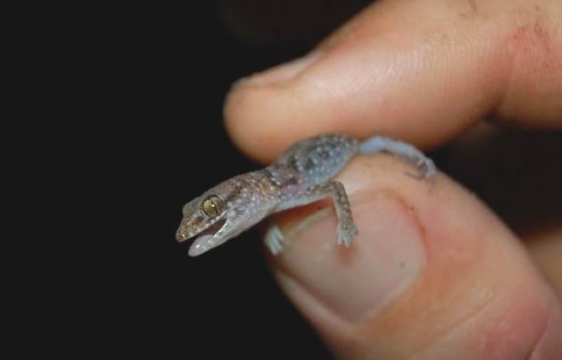 binoes gecko