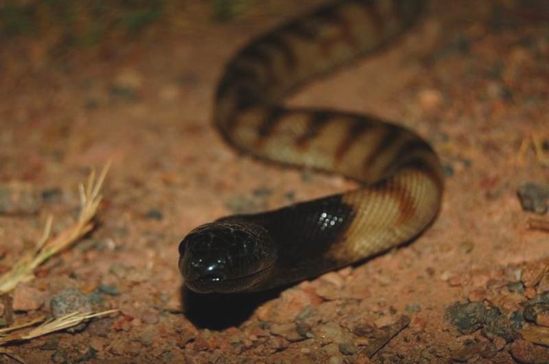 Black Headed python (Aspidites                 melanocephalus)