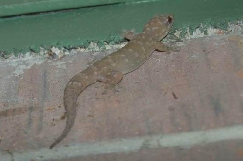 Kakadu gecko
