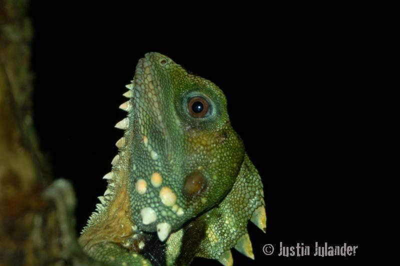 Boyds forest dragon, Hypsilurus boydii'