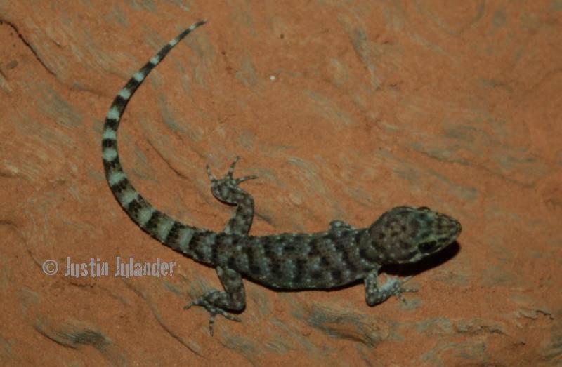Bynoes gecko