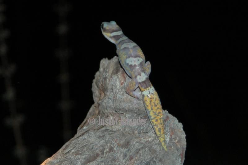 Velvet gecko                 (Oedura castelnaui)
