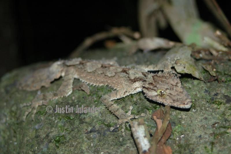 Leaf-tailed                 gecko, saltuarus cornutus