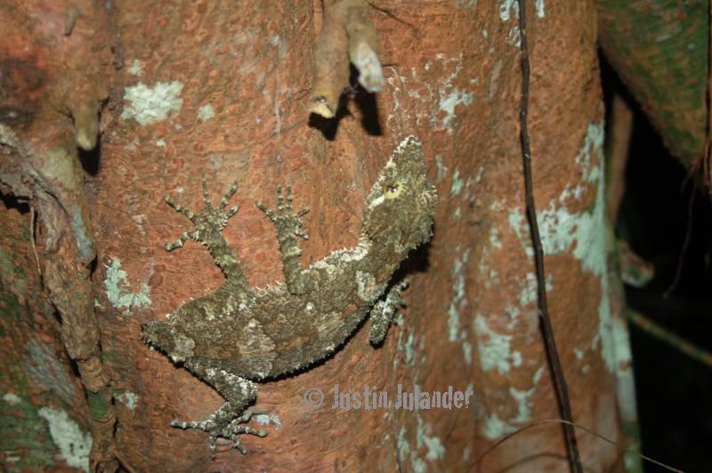leaftailed gecko, Saltuarius cornutus