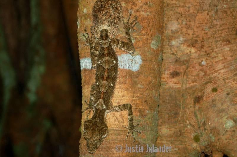 leaftail gecko Saltuarus cornutus