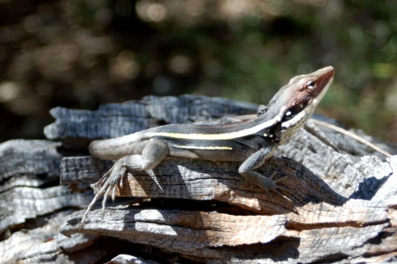 Long nosed                 lizard