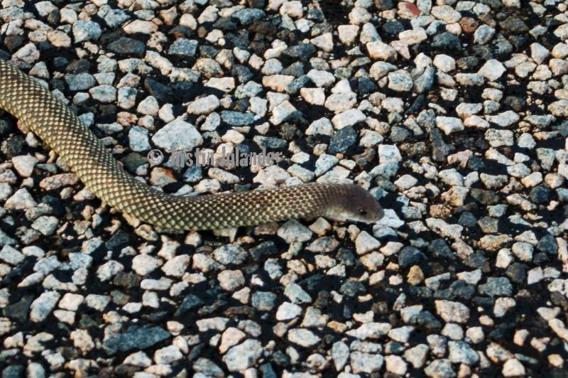 Mulga (Pseudechis                 australis)