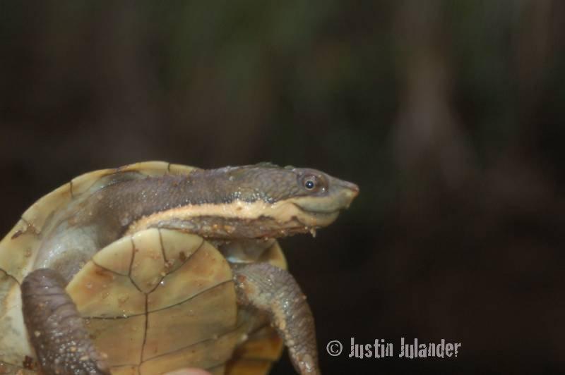 Sawshelled                 turtle