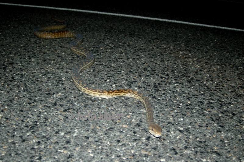 Scrub python (Morelia kinghornii)