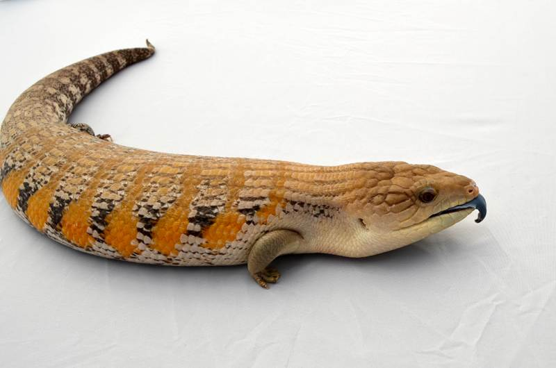 Bluetongue                     skinks