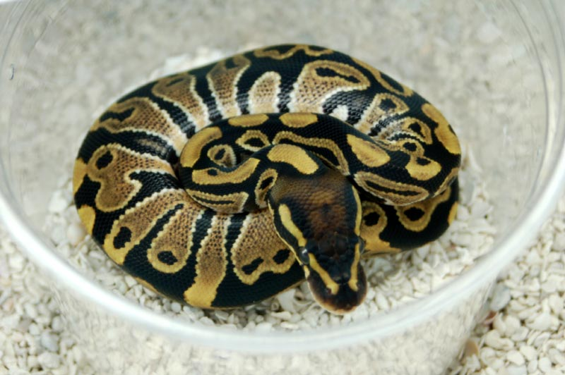 Snake Ball Pytons, Cute Snakes, Snakes For Sale, Snake Types, Baby Pythons, Unique Snakes