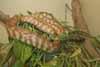 Blackhead python