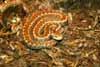 Euro viper