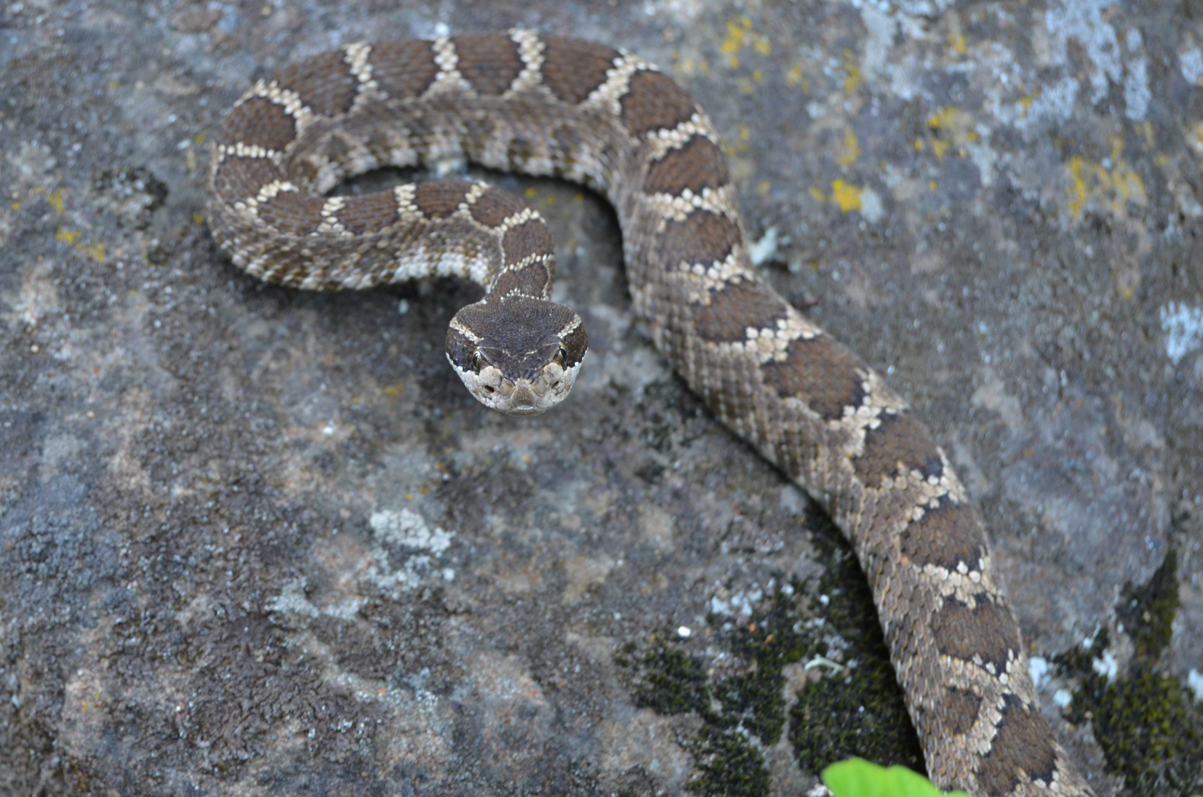 Southern Pac                 Rattler