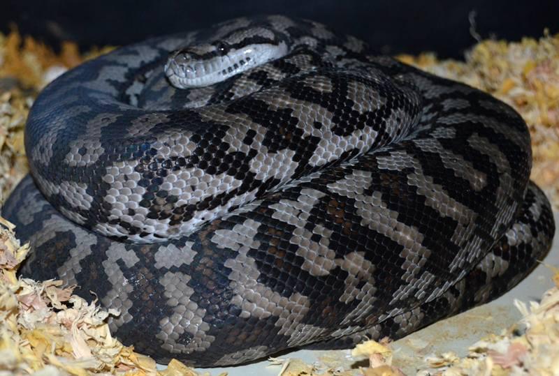 Inland carpet python