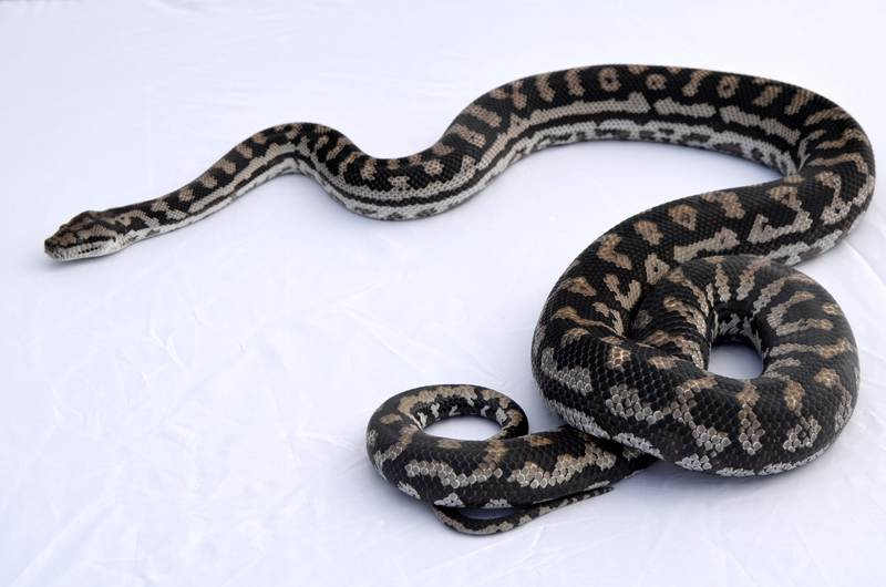 Inland Female