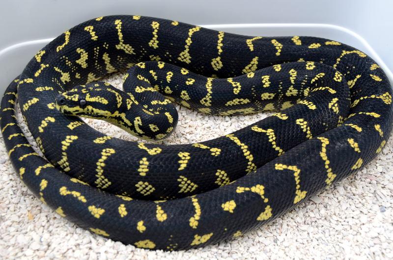 Arboreal Monsters: Carpet python morphs