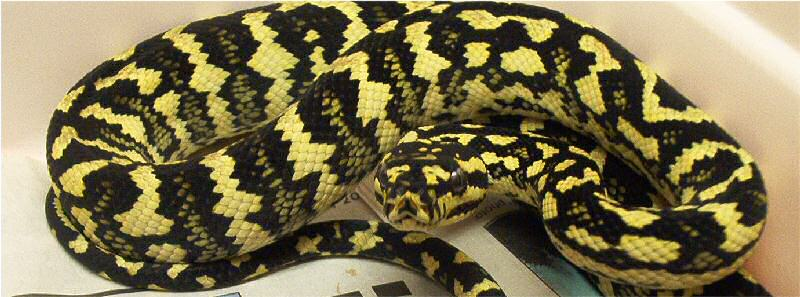 Diamond Jungle Jaguar Carpet Python - Carpet Vidalondon