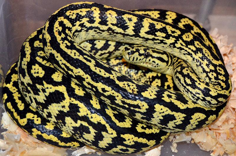Zebra Carpet Python Australia Carpet Vidalondon