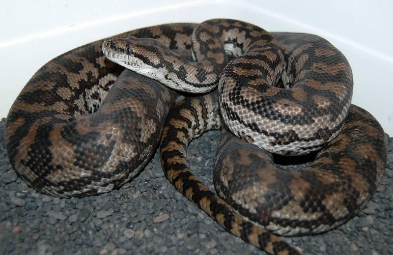 Inland Carpet Python Images