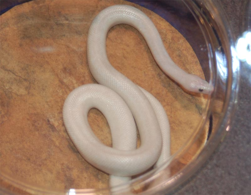 Lesser Bee Ball Python Pictures from the NARB...