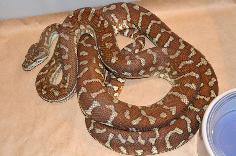 Hypo Bredli Carpet Python Carpet Vidalondon
