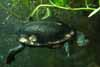 Snake-neck turtle