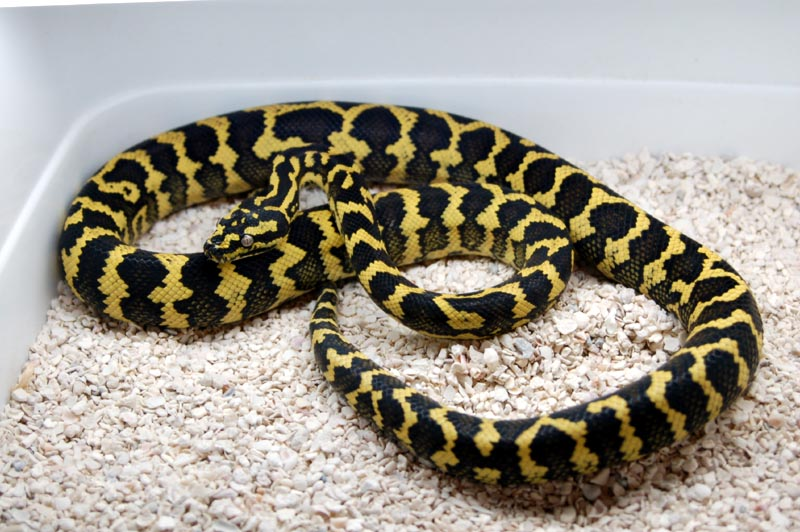 Hornet1 - Jungle Carpet Python by Toxic-Muffins-Studio on DeviantArt