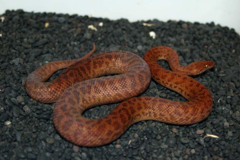 Pygmy Python