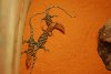 Varanus pilbarensis, Pilbara rock monitor