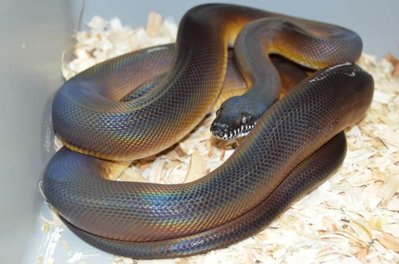 whitelip python