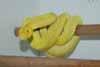 canary chondro