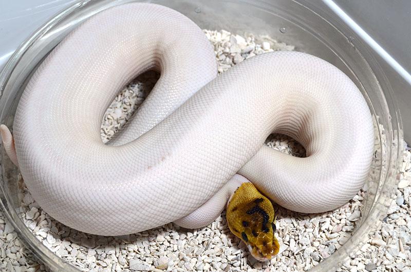 morph pied