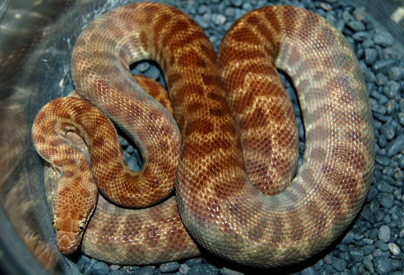 Eastern Stimson's Python