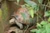 Green bush viper