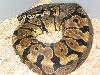 spot                 nose ball python
