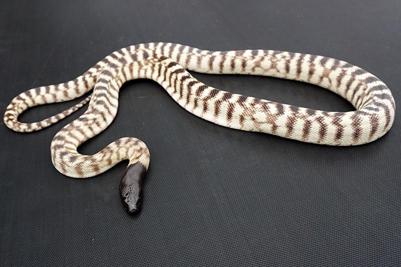 Western blackhead                     python (Aspidites melanocephalus)