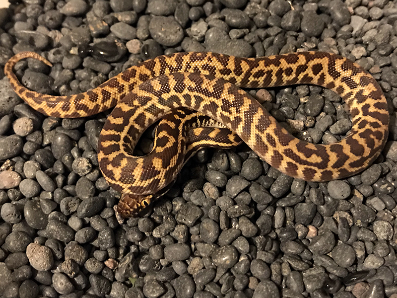 Western Stimson's python