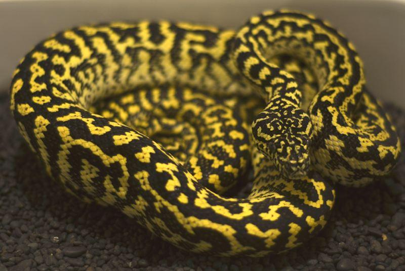 Diamond Jungle Jaguar Carpet Python Carpet Vidalondon
