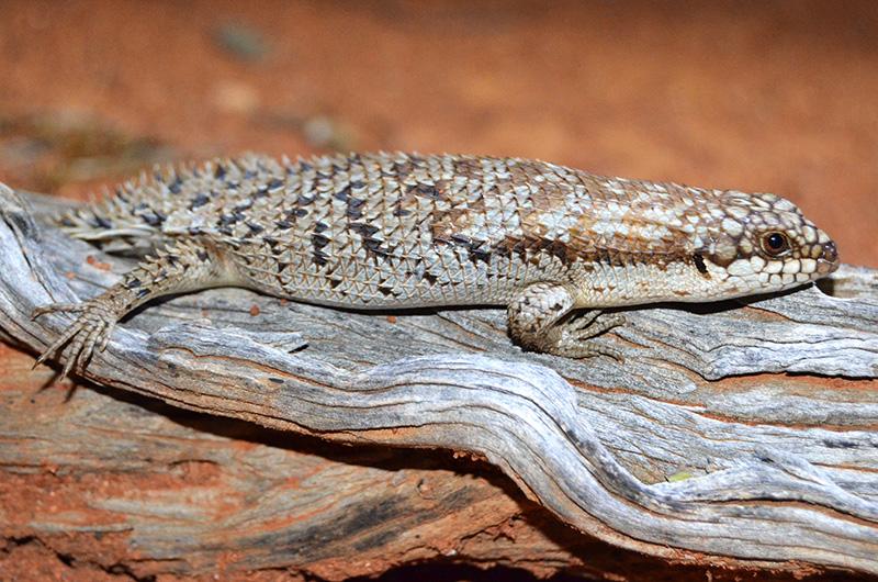 Pygmy spiny-tailed skink Egernia depressa