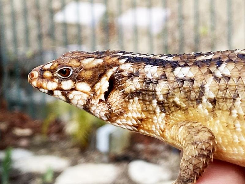 Hosmer's                     spiny-tailed skink Egernia hosmeri