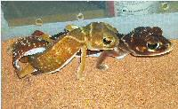 knob-tail geckos (nephrurus levis) breeding