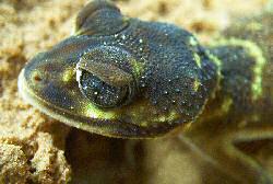 knob-tail gecko (nephrurus levis) head