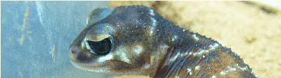 knob-tail gecko (nephrurus levis) profile