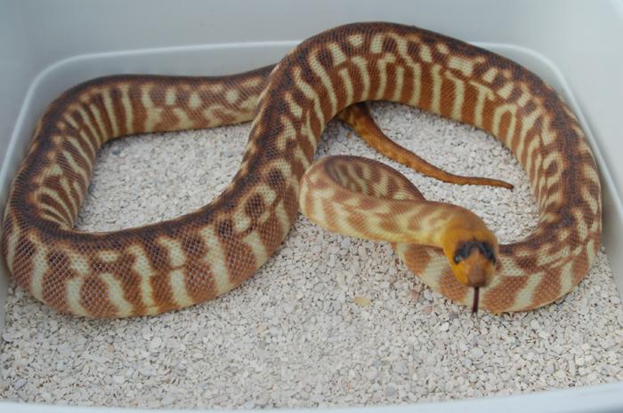 Woma Python